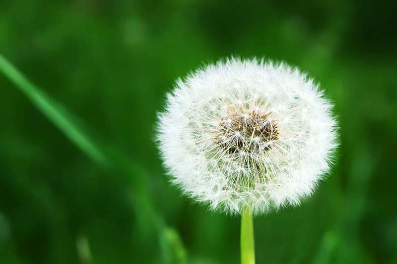 White dandelion on grassy glade background, Does an Air Conditioner Help With Allergies?